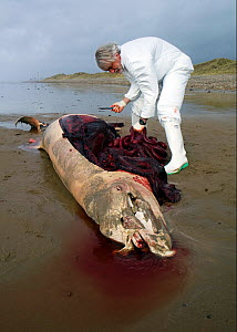 Scientist from the Welsh Marine Environmental Monitoring team dissecting the carcass of a Sowerby's Beaked Whale (Mesoplodon bidens) washed up on a beach in order to try to help determine the cause of...  -  Toby Roxburgh