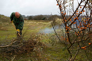 Volunteers and local council staff burning cut branches of Common sea buckthorn (Hippophae rhamnoides), which spreads rapidly and smothers sensitive dune plant communities, Newton Burrows (a provision... - Toby Roxburgh