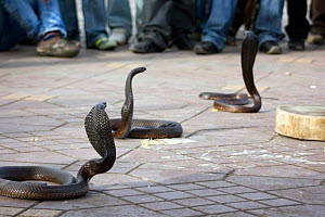 Cobras (Naga) surrounded by crowd of observers, Djemaa el Fna, Marrakech, Morocco, March 2010. - Toby Roxburgh