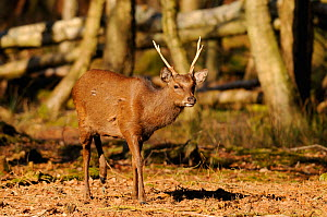 Japanese Sika Deer (Cervus nippon) portrait of stag in woodland, Dorset, England - Dave Watts