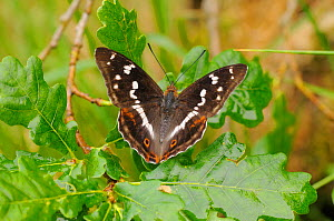 Purple Emperor Butterfly (Apatura iris) at rest on Oak tree (Quercus) branch, France  -  Dave Watts
