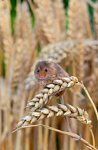 Harvest Mouse ( Micromys minutus) feeding on ear of wheat, Captive, UK, August - David Kjaer