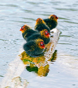 Four Coot (Fulica atra) chicks, perched on exposed surface, surrounded by water, Wiltshire, England, UK. May.  -  David Kjaer