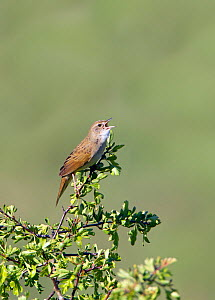 Grasshopper Warbler (Locustella naevia) perched in top of tree, singing. Wiltshire, England, UK. May  -  David Kjaer