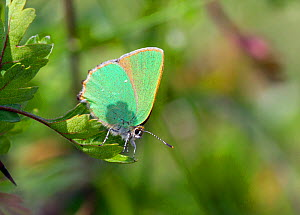 Green Hairstreak (Callophrys rubi) at rest on leaf, with wings closed, Wiltshire, England, UK.  -  David Kjaer