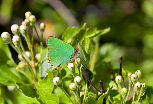 Green Hairstreak butterfly (Callophrys rubi) at rest on leaves, with wings closed, Wiltshire, England, UK.  -  David Kjaer