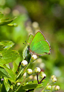 Green Hairstreak butterfly (Callophrys rubi) at rest on Hawthorn flower buds with wings closed, Wiltshire, England, UK.  -  David Kjaer