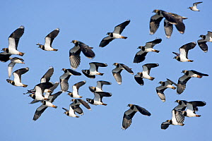 Lapwings (Vanellus vanellus) flock in flight, Gloucestershire, England, UK. February  -  David Kjaer