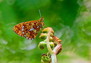 Pearl-bordered Fritillary butterfly (Boloria euphrosyne) at rest on Bracken with wings closed, Bentley Wood, Wiltshire, England, UK - David Kjaer