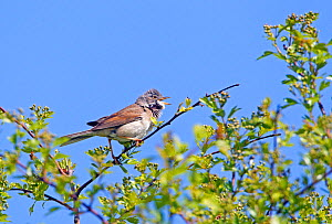 Whitethroat (Sylvia communis) male perched in branches, singing, Wiltshire, England UK. May.  -  David Kjaer