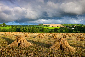 Harvested corn stacked traditionally in stooks for use in roof thatching, Coldridge, Mid Devon, England. July.  -  Adam Burton