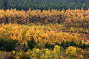 Rows of deciduous and coniferous trees in autumn colours, Brecon Beacons National Park, Powys, Wales, UK. October 2009 - Adam Burton