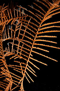 Deepsea Black coral (Antipatharia) from 2500m,  from Mid Atlantic Ridge, June 2009 - David Shale