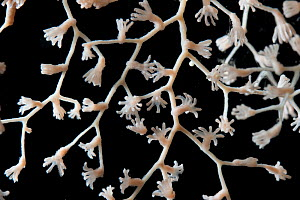 Deepsea Gorgonian coral (Metallogorgia sp.) from mid atlantic ridge  -  David Shale
