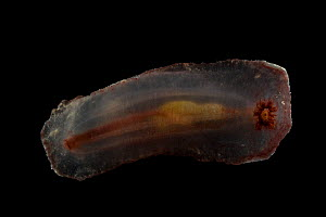 Deepsea benthic Sea cucumber (Psychropotes depressa) from mid atlantic ridge - David Shale