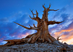 Ancient Bristlecone Pine tree (Pinus longaeva) at sunset. White Mountains, California, USA, June 2009 - Floris van Breugel