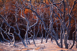 Burnt trees after a station fire near Los Angeles, Southern California, USA, September 2009 - Floris van Breugel