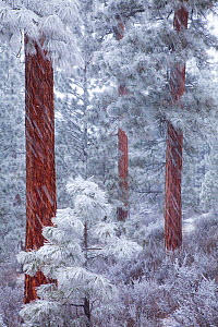 Ponderosa Pine trees (Pinus ponderosa) coated in frost, during heavy snowfall, Deschutes National Forest, Oregon, USA, December 2009  -  Floris van Breugel