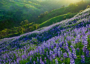 Lupins (Lupinus sp) flowering on a hillside in Spring, California, USA, April 2010  -  Floris van Breugel