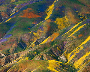 Aerial view of spring wildflower displays, Phacelia (purple) San Joaquin Blazing Star (orange) and Coreopsis (yellow) Temblor Range, Carrizo Plain National Monument in California, USA, April 2010  -  Floris van Breugel