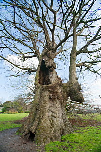 """English Elm (Ulmus procera) one of the """"Preston Twins"""". Largest known specimens of this species in the world. Girth of 6.8m and estimated to be over 400 years old. Preston Park, Brighton, UK. February...  -  Simon Colmer"""