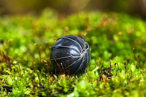 Pill woodlouse (Armadillidium vulgare) curled in ball, Sussex, UK, March - Simon Colmer