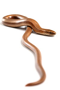 Slow-worm (Anguis fragilis) on white background Sussex, UK  -  Simon Colmer