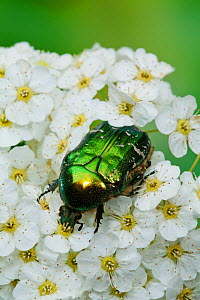 Rose chafer beetle (Cetonia aurata) feeding on flowers, Sussex, UK, June - Simon Colmer