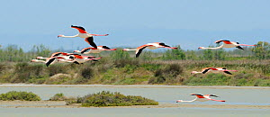 Small flock of Greater flamingos (Phoenicopterus ruber) flying low over a lagoon in Camargue. France, May. - Nick Upton