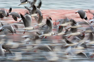 Flock of Gray-headed Gulls (Chroicocephalus cirrocephalus) flying over Lake Nakuru, Kenya, East Africa  -  Mary McDonald