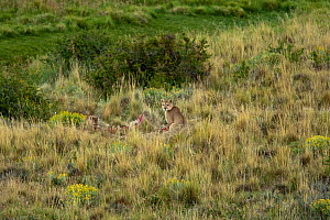 Pumas (Felis concolor) feeding on kill, camouflaged in tall grassland,Torres del Paine, Chile, South America  -  Mary McDonald