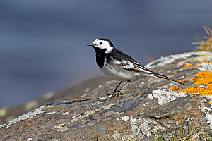 Pied Wagtail (Motacilla alba) standing on lichen covered rock by lake on moorland, Denbigh Moors, North Wales, UK, April 2010 - Alan Williams