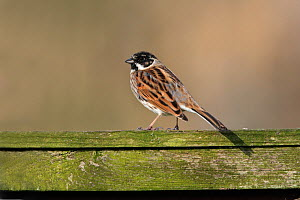 Male Reed Bunting (Emberiza schoeniclus) perched on garden fence, Cheshire, England, UK, March 2010 - Alan Williams