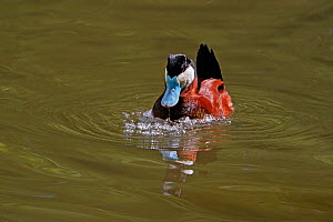 Male Ruddy Duck (Oxyura jamaicensis) displaying on lake expelling air from breast feathers to form bubbles (captive bird) UK, May 2010  -  Alan Williams