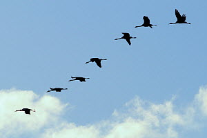 Seven Juvenile Common / Eurasian cranes (Grus grus) in flight, recently released by the Great Crane Project, some with radiotransmitter aerials visible, Somerset, UK, November 2010. - Nick Upton / 2020VISION