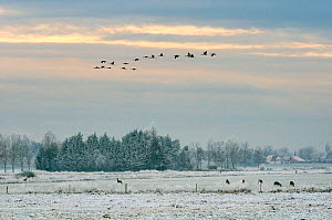 Flock of Juvenile Common / Eurasian cranes (Grus grus) released by the Great Crane Project onto the Somerset Levels and Moors, flying over frozen  pastureland, with grazing Roe deer (Capreolus capreol...  -  Nick Upton / 2020VISION