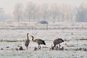 Two juvenile Common / Eurasian cranes (Grus grus) fighting as they forage on frozen pastureland. These cranes were released by the Great Crane Project onto the Somerset Levels and Moors. Somerset, UK,... - Nick Upton / 2020VISION