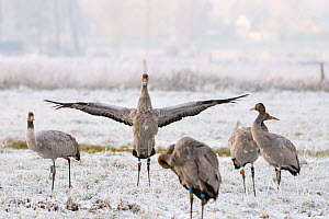 Juvenile Common / Eurasian crane (Grus grus) flapping its wings, among other birds in flock released by the Great Crane Project onto the Somerset Levels and Moors, on frozen pastureland, Somerset, UK,...  -  Nick Upton / 2020VISION