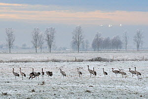 Mute swans (Cygnus olor) flying past flock of Common / Eurasian juvenile cranes (Grus grus) released by the Great Crane Project onto the Somerset Levels and Moors, foraging on frozen pastureland on a... - Nick Upton