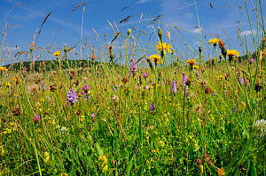 Traditional organic hay meadow with wild flowers and grasses including Common spotted orchid (Dactylorhiza fuchsii) Rough hawkbit (Leontodon hispidus) Red clover (Trifolium pratense) White clover (Tri...  -  Nick Upton