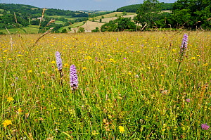 Traditional organic hay meadow with a profusion of wild flowers and grasses including Common spotted orchid (Dactylorhiza fuchsii) Rough hawkbit (Leontodon hispidus) Red clover (Trifolium pratense) Wh...  -  Nick Upton