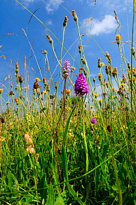 Traditional organic hay meadow with a profusion of wild flowers and grasses including Pyramid orchid (Anacamptis pyramidalis) Common spotted orchid (Dactylorhiza fuchsii, Rough hawkbit (Leontodon hisp...  -  Nick Upton