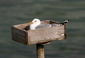 """Common Gull (Larus canus) incubating on purpose built nesting platform. These """"nestboxes"""" were originally placed to encourage gulls to nest near dwellings in order to harvest their eggs as food : but...  -  Roger Powell"""