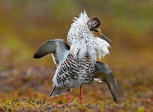 Ruff (Philomachus pugnax) male displaying to attract the attention of a Reeve (female) nearby, Varanger plateau, Arctic Norway. June  -  Roger Powell