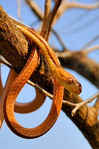 Philippine bluntheaded tree snake (Boiga philippina) coiled round tree branch, Luzon, Philippines, Endemic Species, January, Controlled conditions  -  Daniel Heuclin