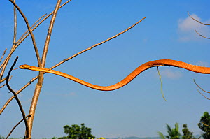 Philippine bluntheaded tree snake (Boiga philippina) moving through the air, between trees. Luzon, Philippines, Endemic Species, January, Controlled conditions  -  Daniel Heuclin