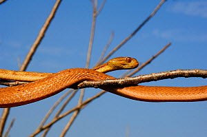 Philippine bluntheaded tree snake (Boiga philippina) moving over branches, Luzon, Philippines, January, Controlled conditions  -  Daniel Heuclin