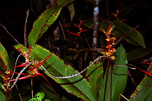 Bluntheaded treesnake (Imantodes cenchoa) moving through forest, Montagne de Kaw, French Guiana, Controlled conditions - Daniel Heuclin
