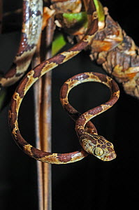 Bluntheaded tree snake (Imantodes cenchoa) head portrait with body coiled around tree branch, Montagne de Kaw, French Guiana, Controlled conditions - Daniel Heuclin