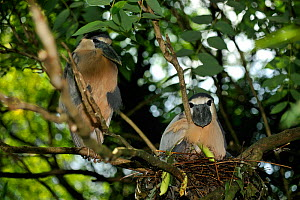 Boat-billed heron (Cochlearius cochlearius) breeding pair, on nest in tree branch, French Guiana, August  -  Daniel Heuclin